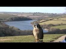 Cornwall Birds of Prey