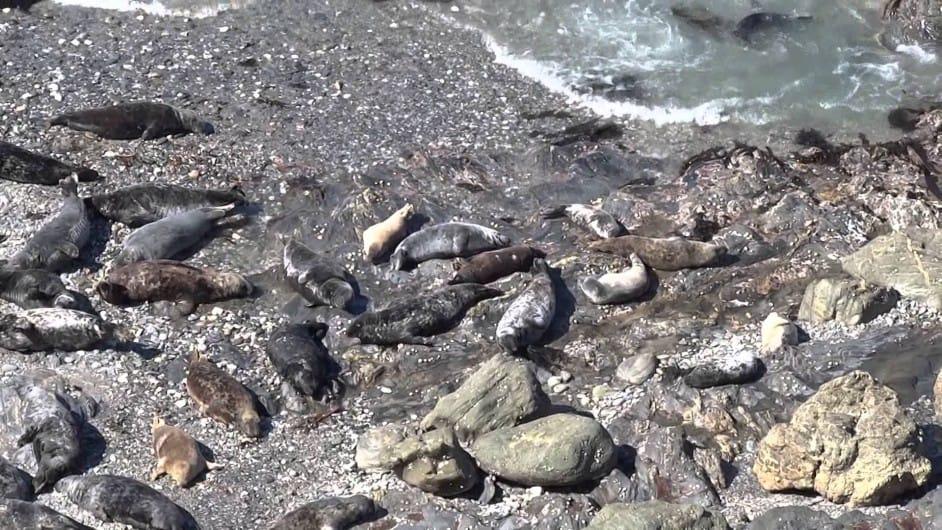 Godrevy Seals