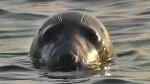 Kayaking Godrevy Seals