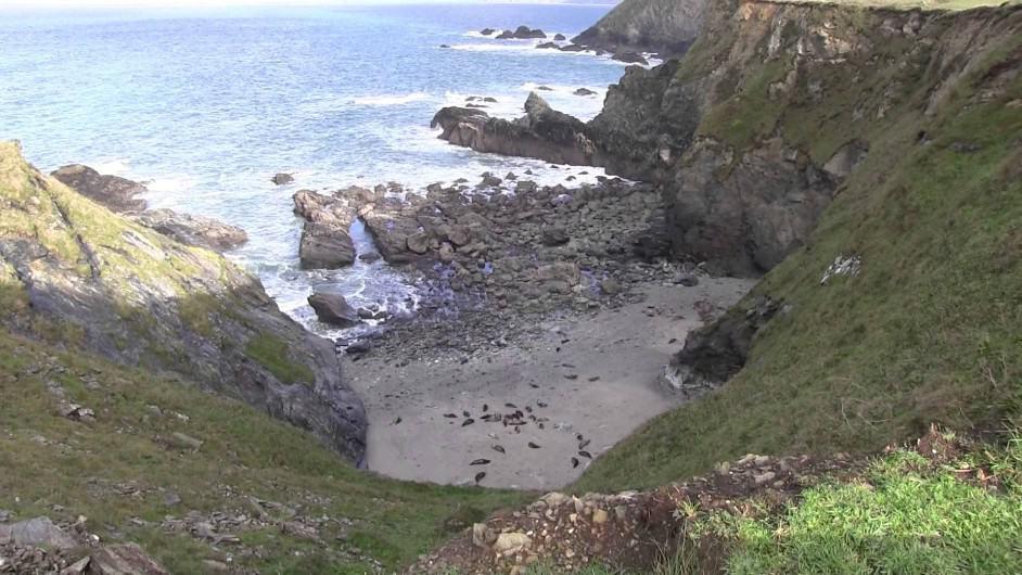 Seals at Godrevy